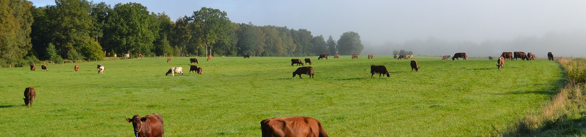 Kor på på ladugårdsåkern